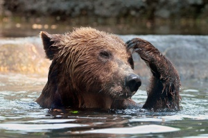 A picture of bear in water, looking like he's thinking